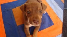 Mamuth Dog
