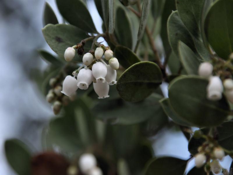 Manzanita Blooms
