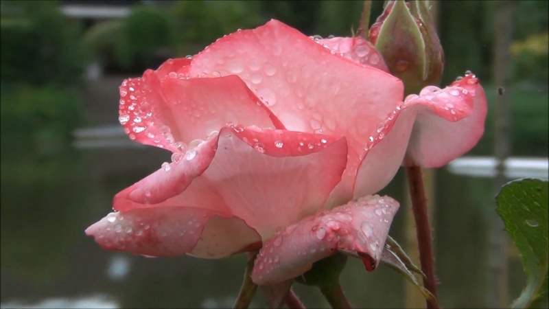 Wet Rose Logon