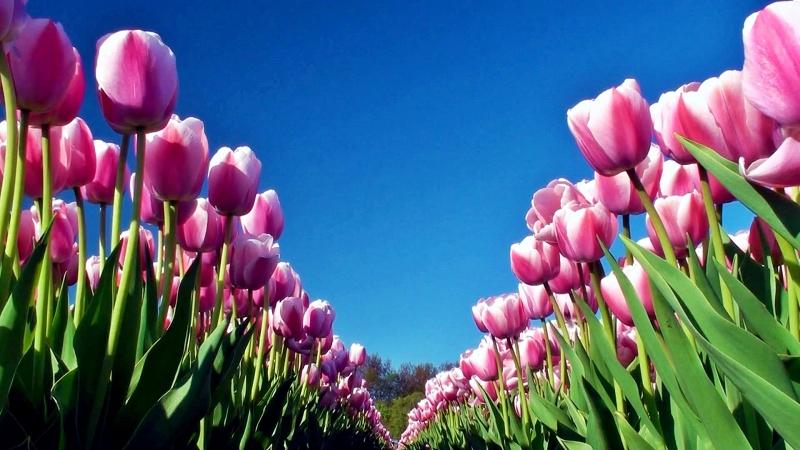 Tulip Pink 2