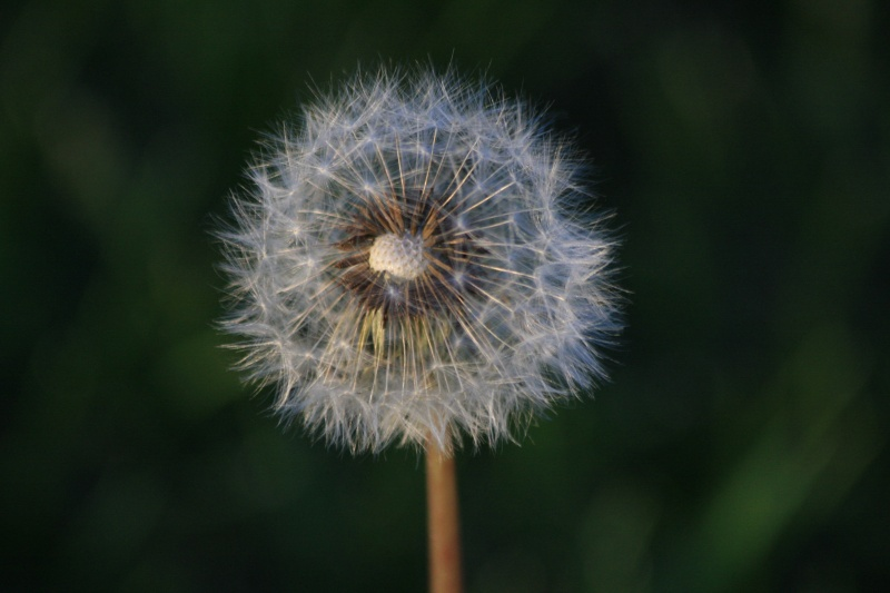 Dandelion, Past Tense