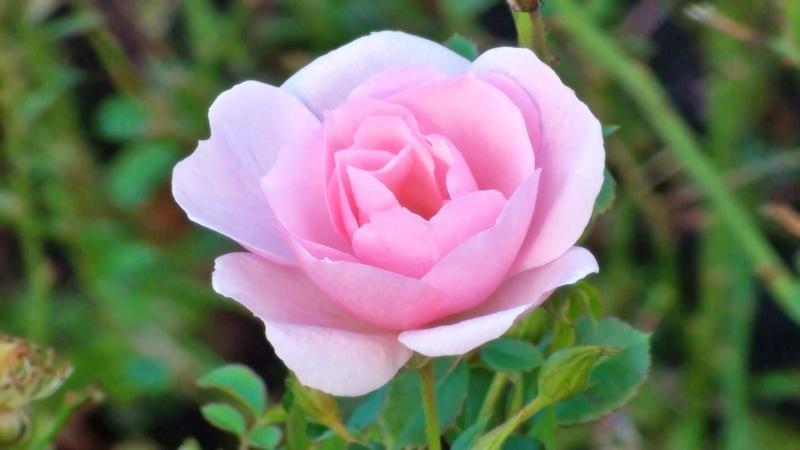 Rose Pink 2