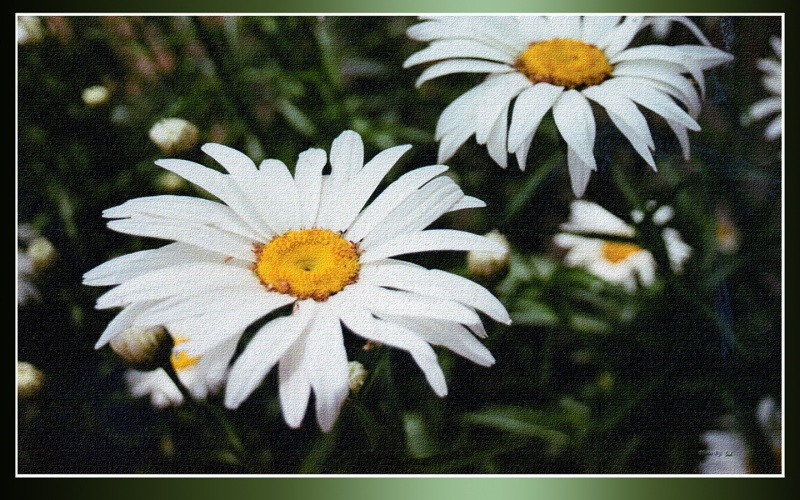 Daisy Days on Canvas