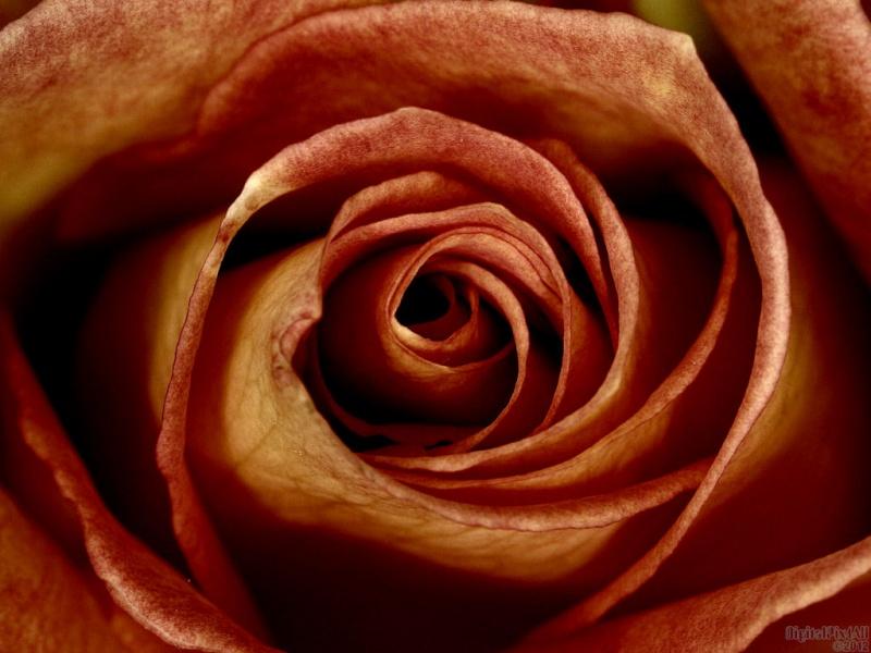 Rust Rose