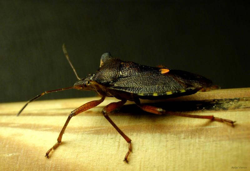 Pentotoma rufipes - Redlegged Shieldbug