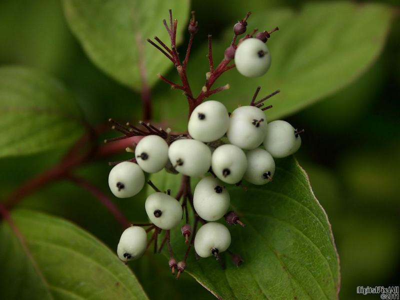 Berries White