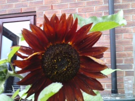 my sunflower 2