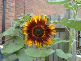 my sunflower 3
