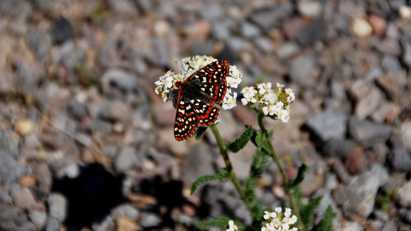 Snowberry checkerspot (Mt.Hood)