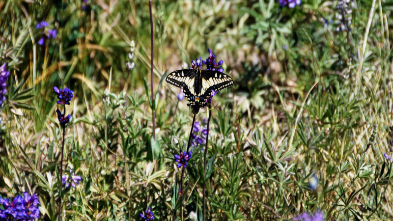 Anise swallowtail (Mt.Hood).jpg