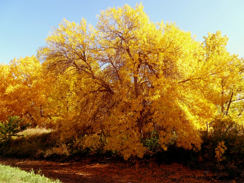 Colorado Cottonwood Trees