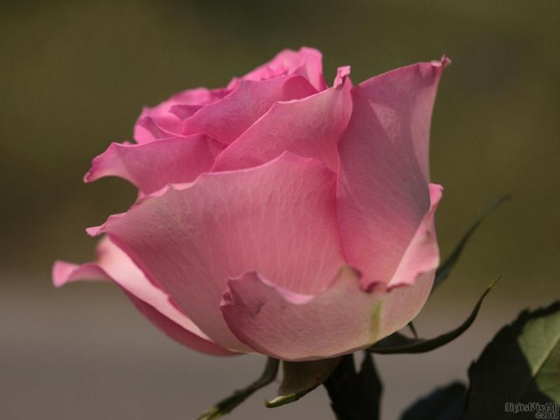 Festive Pink