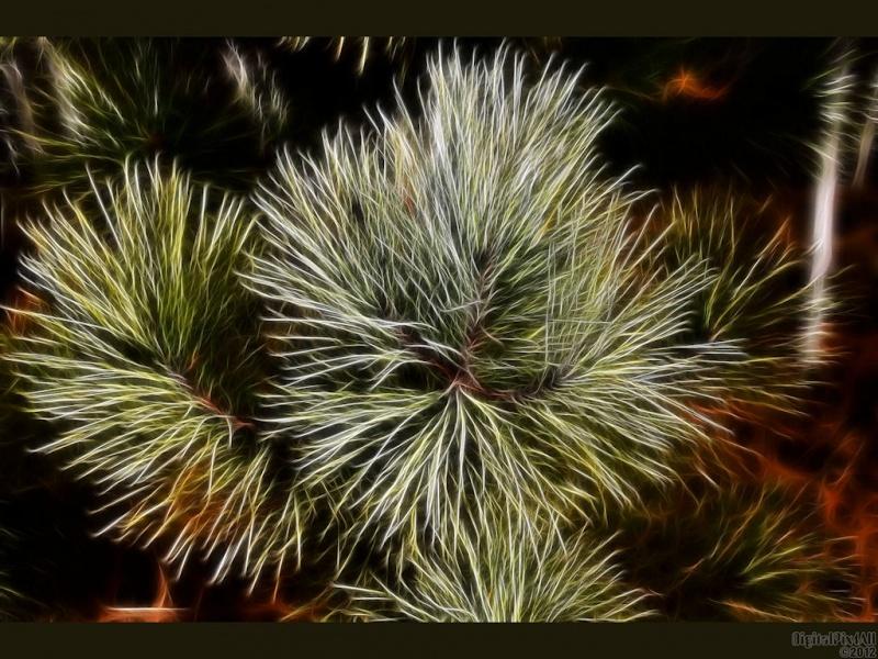 Fall Pine