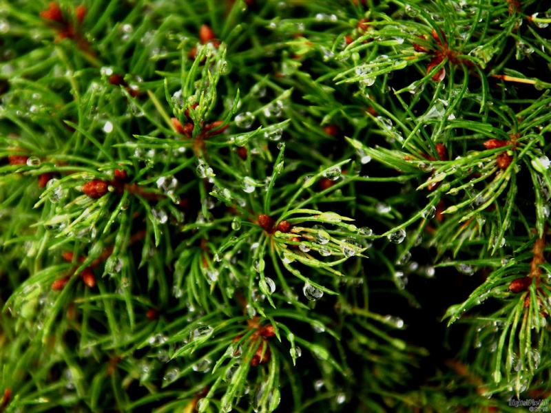 Pine Tears