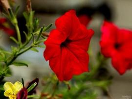 Red Glory