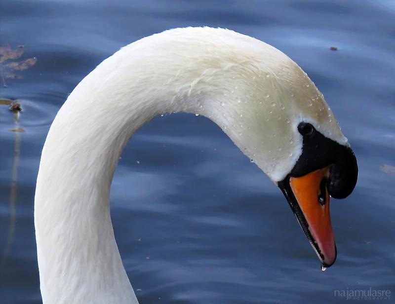 Mute swan close-up