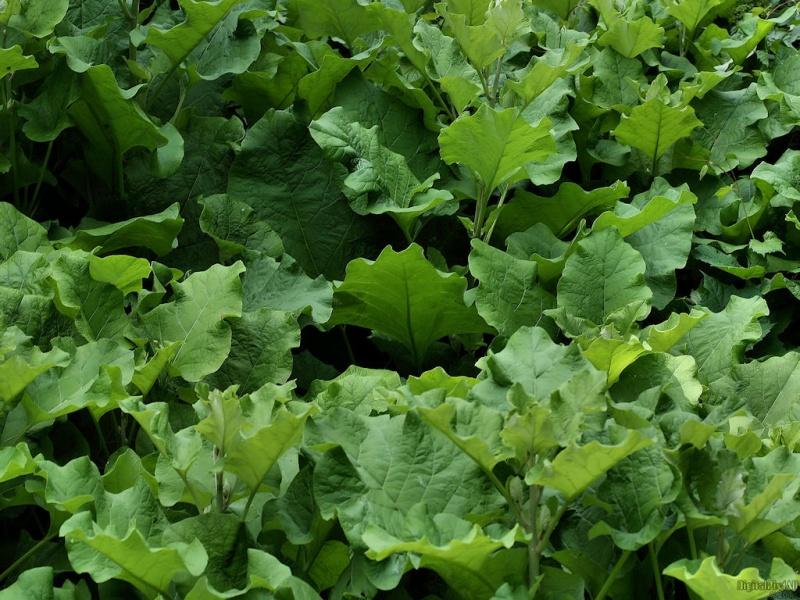Lettuce Like