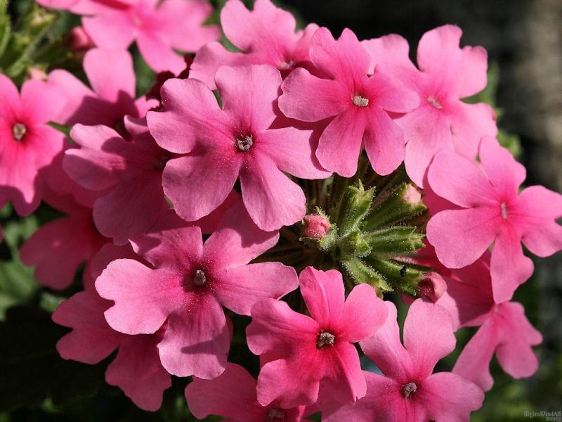 Pinking