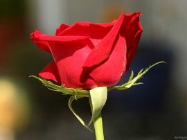 Ready Rose