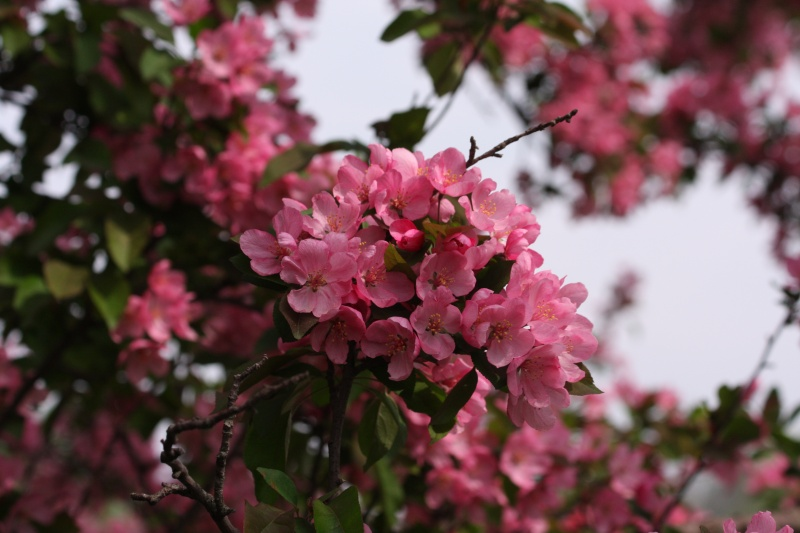 Crabapple in May
