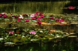 Lili pad blooms