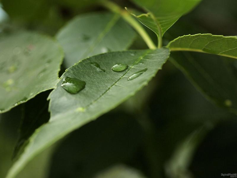 Leaf Drops