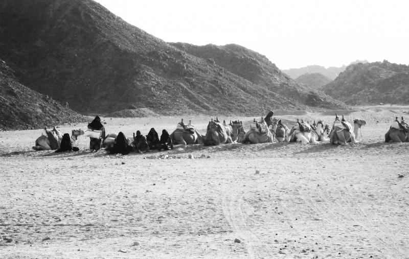 Camels Row