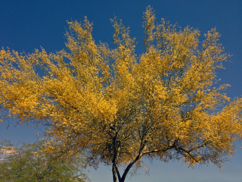 Palo Verde Full Bloom