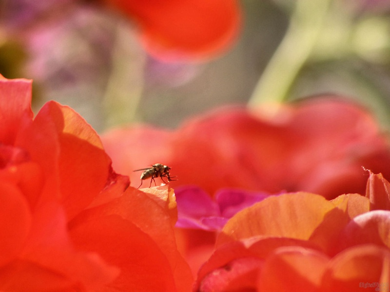 Begonia Bug