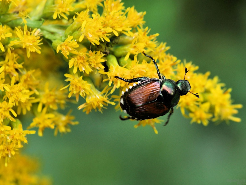 Oriental Bug
