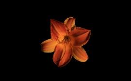 Orange Lily 1920 X 1200